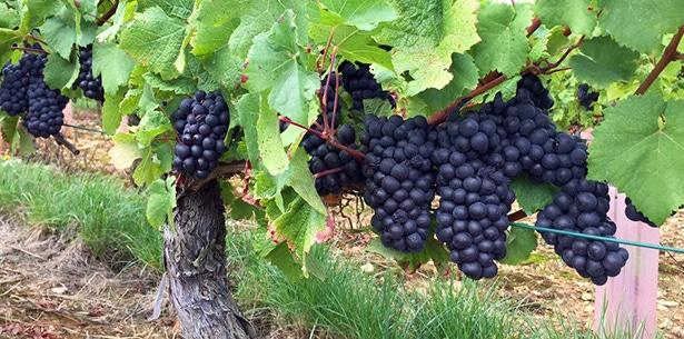 Wijnverhaal Volnay - 1