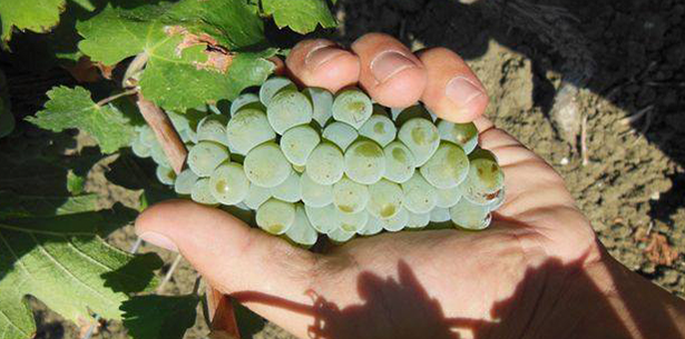 Wijnverhaal Rossetti Pinot Grigio - 1